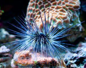 Морской ёж Diadema sp, Sea Urchin