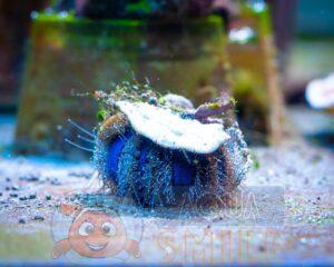 Морской ёж Mespilia globulus, Sea Urchin Tuxedo
