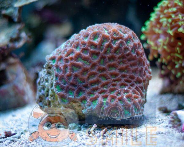 Коралл LPS Favia spp, Pineapple Coral Green