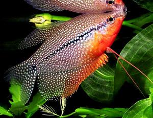 Какие аквариумные рыбки могут жить без компрессора Лабиринтовые фото