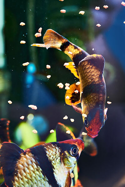 как кормить рыбок фото