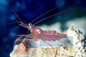 Креветка Lysmata wurdemanni Peppermint shrimp, Veined shrimp