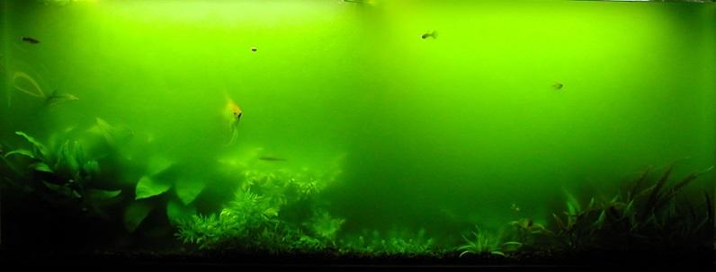 Почему зеленеет вода в аквариуме фото