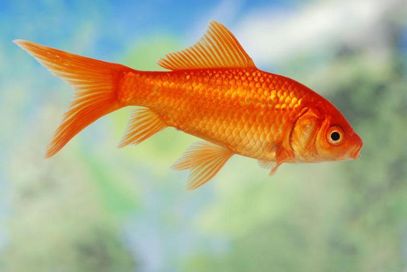 Золотая рыбка обыкновенная фото