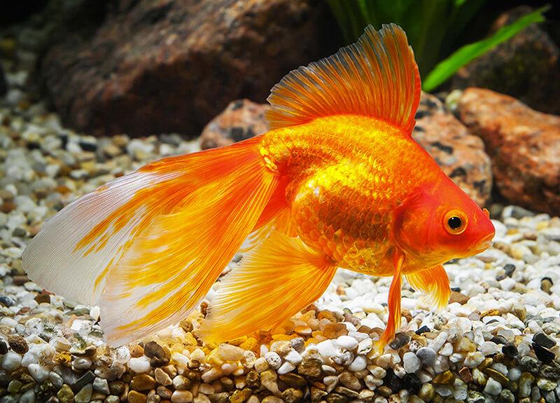 Золотая рыбка вуалехвост фото