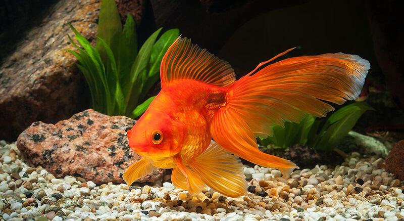 Золотая рыбка в аквариуме фото