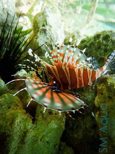 Рыба в морском аквариуме крылатка в природе фото 1