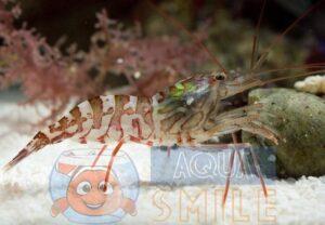 Креветка Lysmata kuekenthali, Shrimp Cleaner