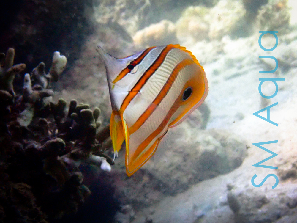 рыба бабочка Chelmon Rostratus в природе фото