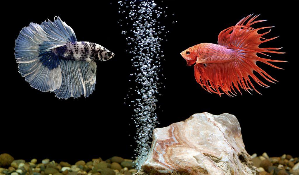 бойцовая рыбка в аквариуме фото