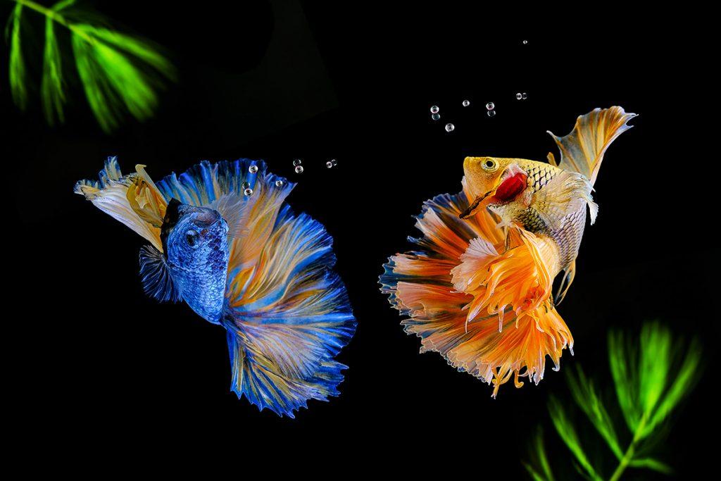 рыба петушок содержание фото