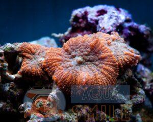 Коралл мягкий Rhodactis inchoata Mushrooms Carpet Orange Celebes Premium (полип)