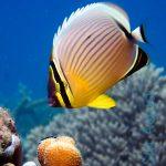 Особенности содержания рыб-бабочек в аквариуме
