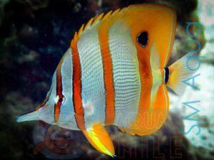 Рыба бабочка Chelmon rostratus, Copperbanded Butterflyfish