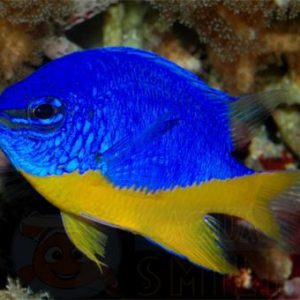 Рыба Chrysiptera hemicyanea (Azure Demoiselle)