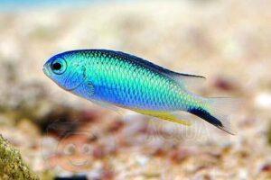 Рыба Pomacentrus alleni (Allen`s Damselfish)