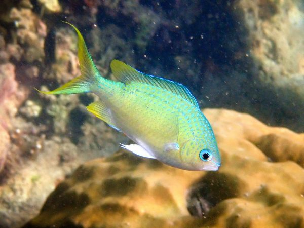 Рыба хромис Chromis viridis (Blue green Chromis)