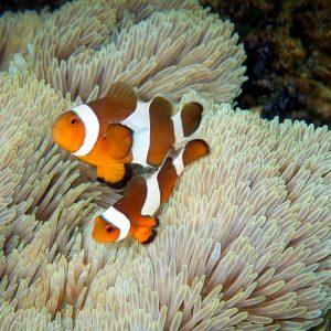 Рыба Amphiprion ocellaris, Clownfish разводная