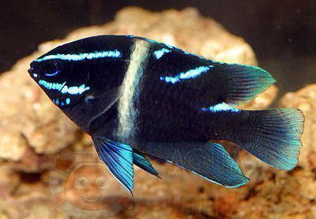 Рыба Paraglyphidodon oxyodon, Blue-streak Devil