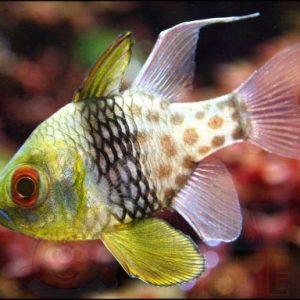 Рыба Sphaeramia nematoptera, Polka-dot Cardinalfish