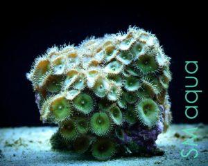 Коралл мягкий Zoanthus sp, Sand Polyps Long Green Tentacle Chocolate