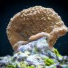 Коралл SPS Montipora Undata