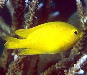 Рыба Pomacentrus moluccensis (Yellow Damsel)