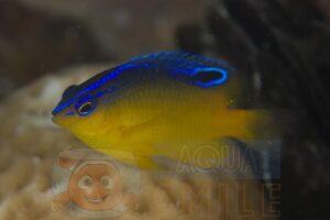 Рыба Pomacentrus simsiang (juv), Batavia Damsel