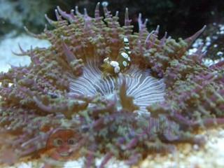 Анемон Phymathus, Anemone Sand