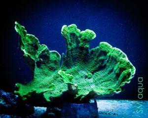 Коралл SPS Montipora spp, Montipora Foliosa Green