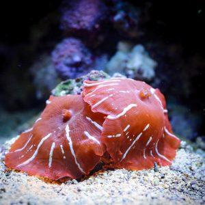 Коралл мягкий Discosoma sp, Mushrooms Red