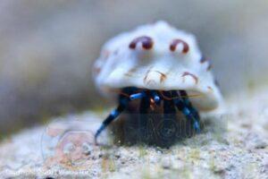 Краб Calcinus sp, Hermit crab blue leg
