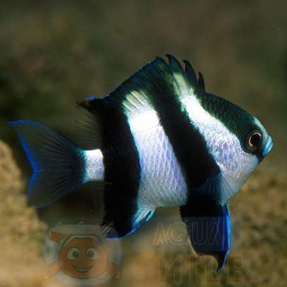 Рыба Dascyllus melanurus (Fourstriped Damselfish)