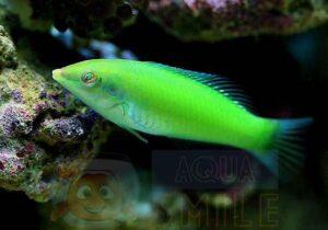 Рыба губан Halichoeres chloropterus (Green Wrasse)
