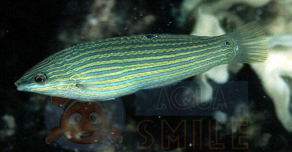 Рыба губан Halichoeres hoeveni, Yellow lined Wrasse