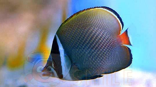 Рыба бабочка Chaetodon collare, Red-tailed Butterflyfish