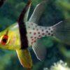 Рыба Sphaeramia nematoptera, Polka-dot Cardinalfish 12821