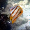 Рыба бабочка Chelmon rostratus, Copperbanded Butterflyfish 13952
