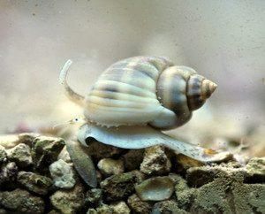 Улитка Nassarius sp, Nassarius cleaner