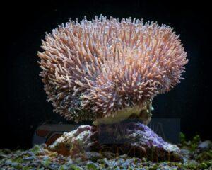 Коралл мягкий Sarcophyton sp, Leather Soft Tentacle