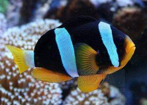 Рыба клоун Amphiprion clarkii (Clark`s Anemonefish)