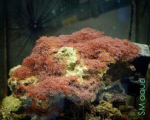 Коралл мягкий Erythropodium sp, Star Polyps Big White XL