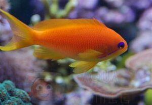 Рыба Pseudanthias squamipinnis, Lyretail coral fish Indian Ocean (самка)