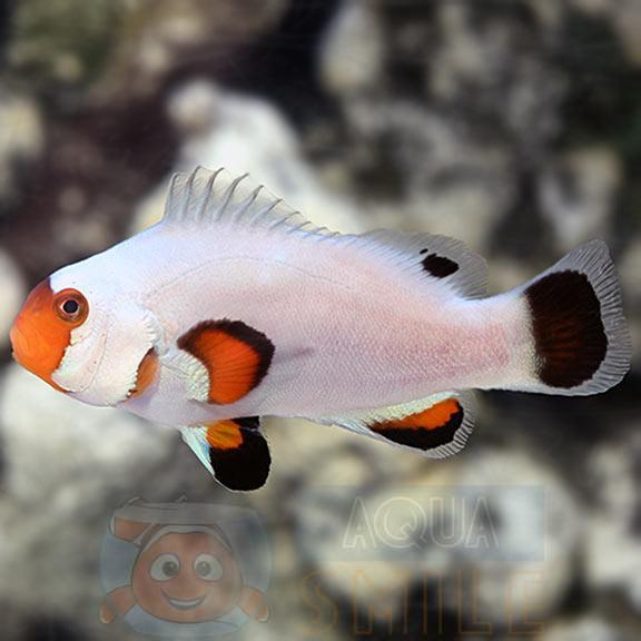 Рыба Amphiprion ocellaris, Clownfish Wyoming White PREMIUM