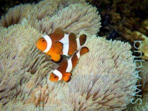 Рыба Amphiprion ocellaris, Clownfish