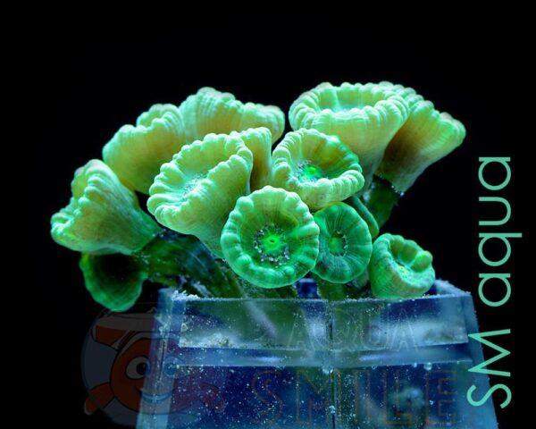 Коралл LPS Caulastraea sp, Candycane Big Pipe Green