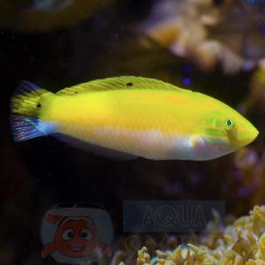 Рыба губан Halichoeres trispilus, Four-spot Wrasse