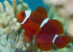 Рыба Premnas biaculeatus (Spine-cheek Anemonefish)